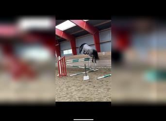 Danish Warmblood, Mare, 3 years, 16.2 hh, Can be white
