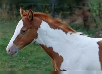 Paint Horse, Gelding, 1 year, 14.2 hh, Champagne