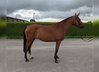 Anglo European Studbook, Mare, 6 years, 16.1 hh, Brown