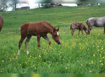 Paint Horse, Stallion, Foal (01/2021), 15.2 hh, Overo-all-colors