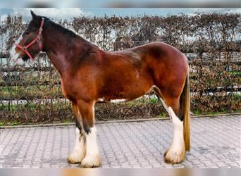 Clydesdale, Mare, 5 years, 17 hh, Brown