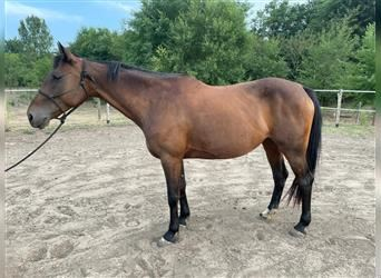 Hungarian Sport Horse Mix, Mare, 8 years, 15.1 hh