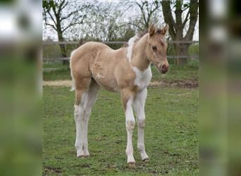 Paint Horse, Mare, Foal (04/2021), 15 hh, Champagne