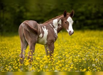 Paint Horse, Stallion, Foal (05/2021), Roan-Red