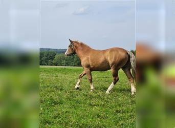South German Coldblood, Mare, 7 years, 16.3 hh, Chestnut-Red