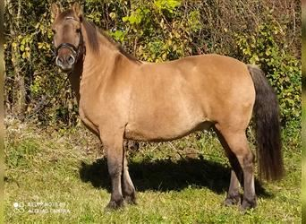More ponies/small horses, Gelding, 11 years, 14 hh, Brown
