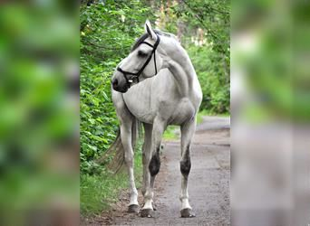 Russian Saddle Horse Mix, Stallion, 10 years, 17.1 hh, Can be white