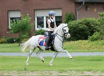Welsh A (Mountain Pony), Gelding, 7 years, 11.3 hh, Gray-Dapple