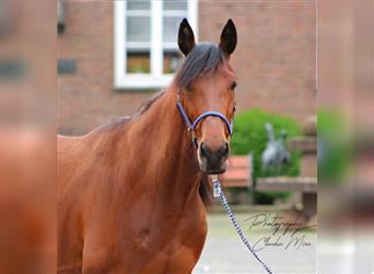 German Trotter, Mare, 6 years, 15.1 hh, Brown