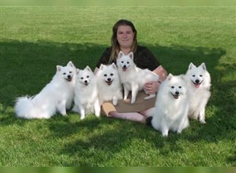 Japanese Spitz Puppies for sale