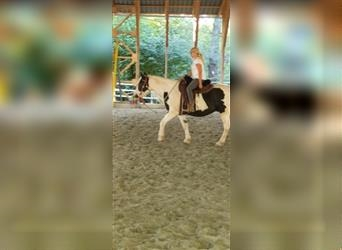 Gypsy Horse Mix, Gelding, 3 years, Pinto