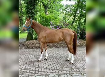 Hanoverian, Mare, 5 years, 16.1 hh, Chestnut-Red