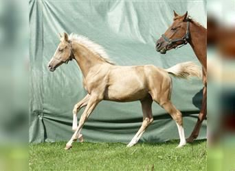 Other Warmbloods, Stallion, Foal (03/2021), 16.1 hh, Palomino