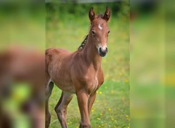 French riding pony, Stallion, Foal (06/2021), 14.1 hh, Brown