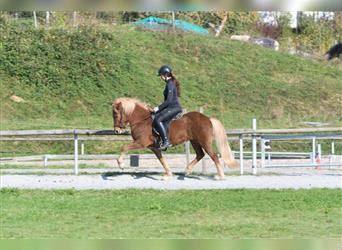 Icelandic Horse, Mare, 7 years, 13.1 hh, Chestnut-Red