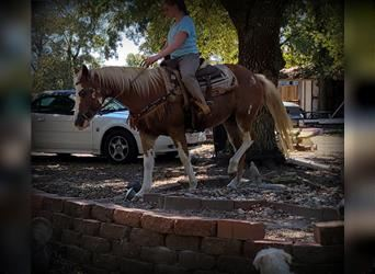Paint Horse Mix, Mare, 14 years, 14.2 hh