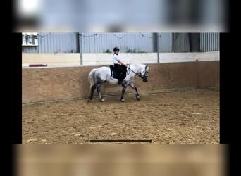 Hungarian Sport Horse Mix, Gelding, 9 years, 13.2 hh, Gray
