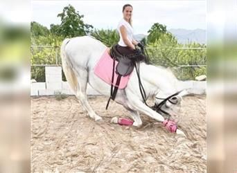 Andalusian, Stallion, 13 years, 16.2 hh, White