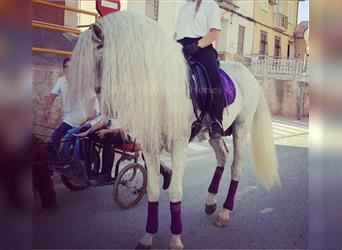 Andalusier, Hengst, 13 Jahre, 168 cm, White