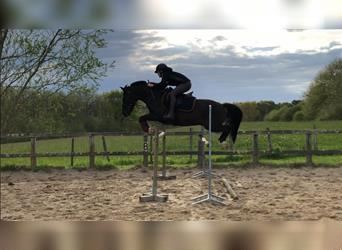 New Forest Pony, Gelding, 11 years, 13.2 hh, Black