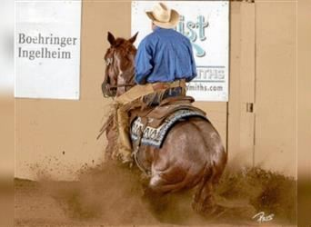 American Quarter Horse, Stallion, 12 years, Roan-Red