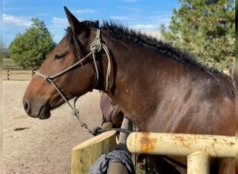 Curly horse, Mare, 2 years, 14.2 hh, Bay