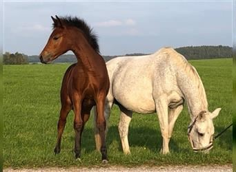 German Riding Pony, Mare, Foal (06/2021), 11.2 hh, Brown