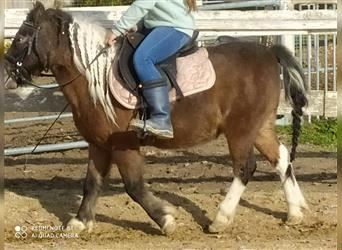 More ponies/small horses, Gelding, 12 years, 11.1 hh, Pinto