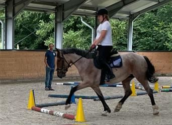 More ponies/small horses, Mare, 4 years, 14.3 hh, Roan-Bay