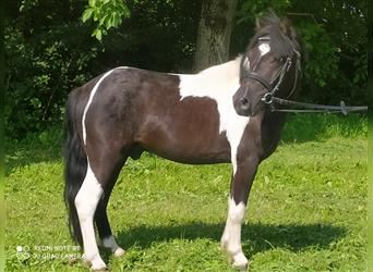 More ponies/small horses, Gelding, 4 years, 11.1 hh, Pinto