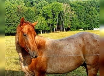 American Quarter Horse, Stallion, 3 years, 14.2 hh, Roan-Red