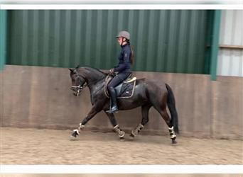 New Forest Pony, Hengst, 9 Jahre, 143 cm