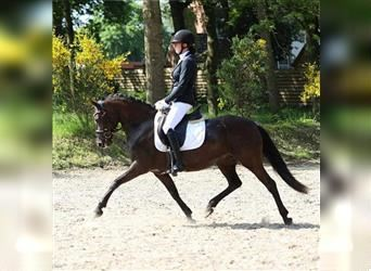 New Forest Pony, Mare, 9 years, 14 hh