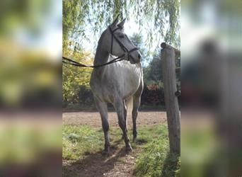 Small German riding horse, Gelding, 6 years, 14.3 hh, Gray