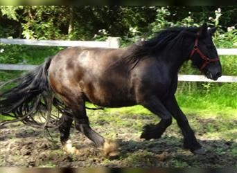 Gypsy Horse, Mare, 4 years, 13.2 hh, Black