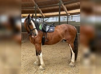 Shire Horse, Mare, 7 years, 18 hh, Brown