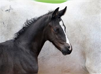 Westphalian, Mare, Foal (05/2021), Can be white