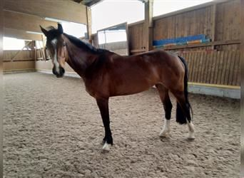 Baden Wuerttemberg, Mare, 10 years, 16.1 hh, Brown
