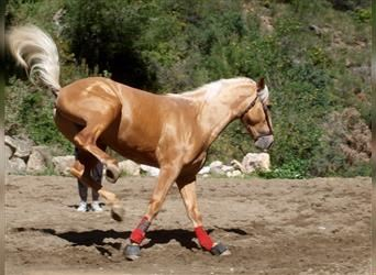 Andalusier, Hengst, 3 Jahre, 165 cm, Palomino