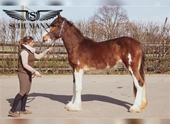 Shire Horse, Mare, 1 year, 14.2 hh, Brown
