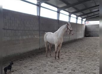 Andalusian, Mare, 3 years, 16 hh, Cremello
