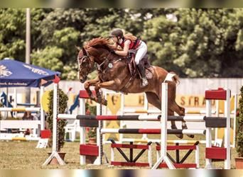 Hungarian Sport Horse, Gelding, 12 years, 16.3 hh, Chestnut-Red