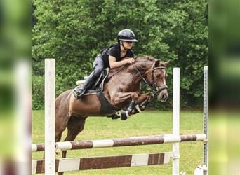 Welsh B, Mare, 13 years, 12.1 hh, Chestnut