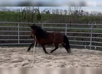 Icelandic Horse, Mare, 14 years, 13.1 hh, Brown