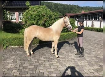 More ponies/small horses, Gelding, 3 years, 14.2 hh, Palomino