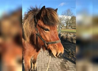 Icelandic Horse, Mare, 8 years, 13.2 hh, Brown