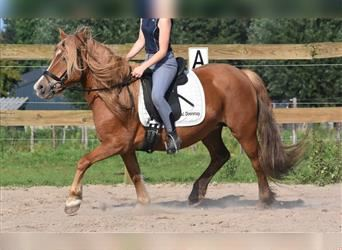 Haflinger Mix, Mare, 8 years, 14.1 hh, Chestnut-Red
