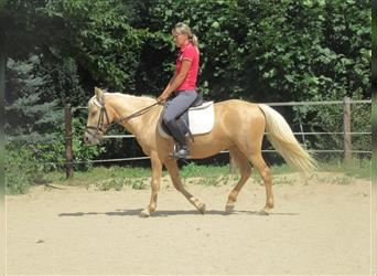 More ponies/small horses, Mare, 7 years, 13 hh, Palomino