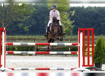 New Forest Pony, Mare, 11 years, 14.2 hh, Brown