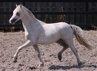 Welsh A (Mountain Pony), Mare, 1 year, Gray-Blue-Tan